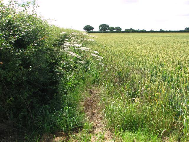 Wheat crop field beside Dog Lane