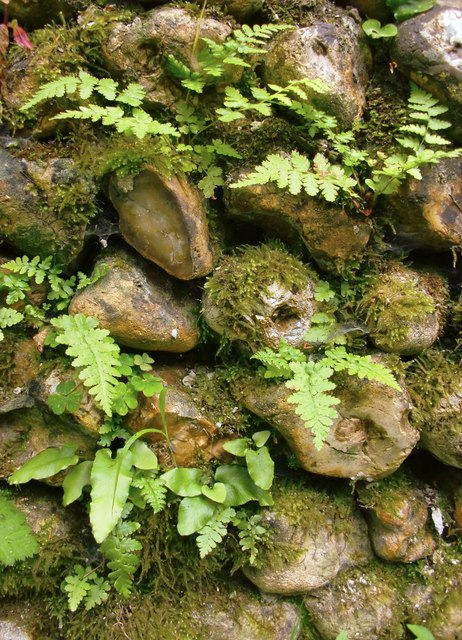 Vegetation on a flint cobble wall, Briary Hill