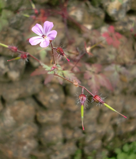 Geranium sp. growing on a flint wall, Briary Hill, Dick Focks Common