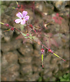 TQ0950 : Geranium sp. growing on a flint wall, Briary Hill, Dick Focks Common by Stefan Czapski