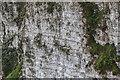 TA2073 : Razorbills, Bempton Cliffs, Yorkshire by Christine Matthews