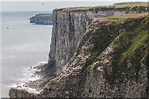 TA2073 : Gannet Colony, Bempton Cliffs, Yorkshire by Christine Matthews