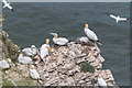 TA2073 : Gannets, Bempton Cliffs, Yorkshire by Christine Matthews