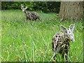 SU6178 : Wicker Deer by Bill Nicholls