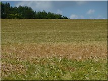 SU6230 : Barley field at the eastern edge of Old Park Wood by Christine Johnstone