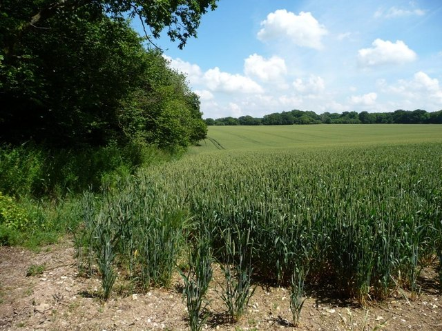 North-west corner of a large wheatfield