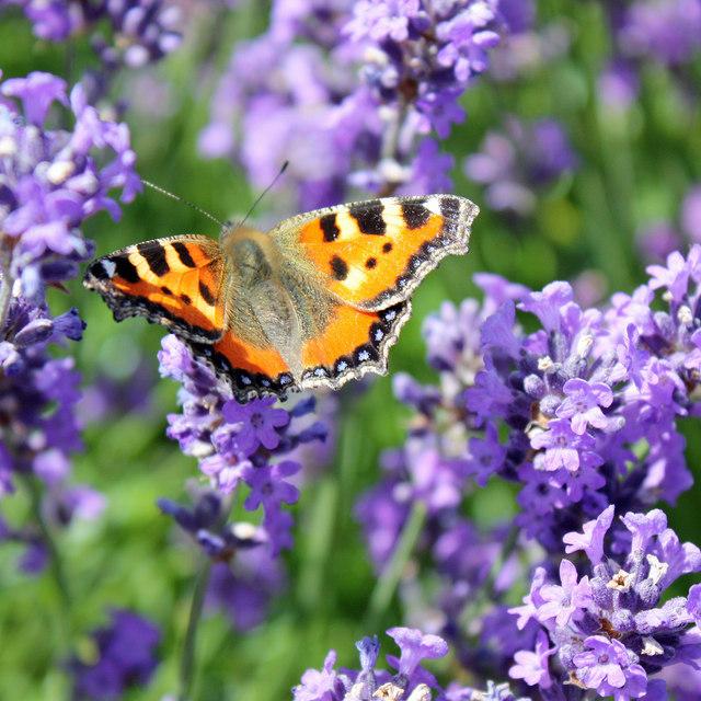 Small tortoiseshell on lavender