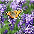 SE6670 : Small tortoiseshell on lavender by Pauline E