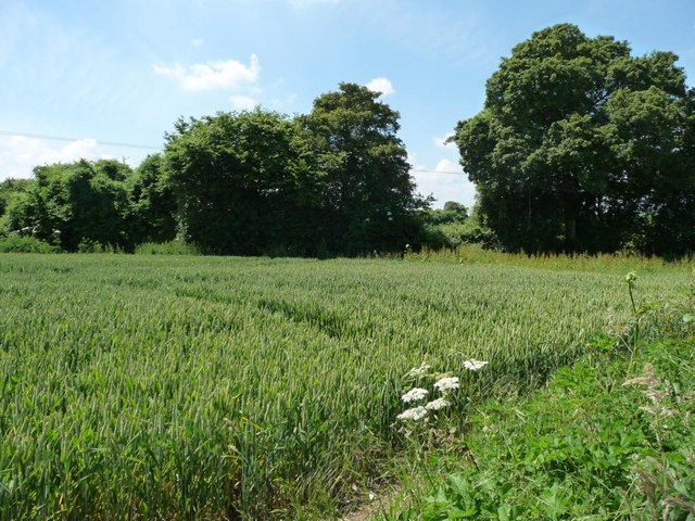Corner of a wheatfield, east of Slys Farm