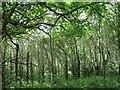 SX9684 : Woodland on Powderham estate by Stephen Craven
