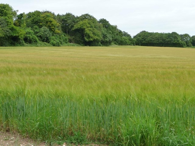 Barley field at the northern end of Stephen's Castle Down