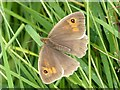 ST3484 : Meadow Brown butterfly, Great Traston Meadows by Robin Drayton