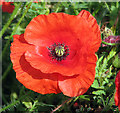 TG4019 : Common poppy (Papaver rhoeas) by Evelyn Simak