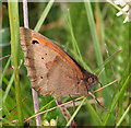 SK1573 : Meadow Brown Butterfly (Maniola  jurtina) by Anne Burgess