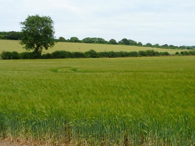 Tree on the boundary of a barley field