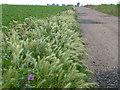 TL2791 : Hare barley on Glassmoor by Richard Humphrey