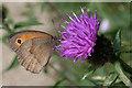 SZ5692 : Meadow Brown Butterfly (Maniola  jurtina) by Anne Burgess