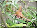 NZ2052 : Elephant Hawk moth-Deilephila elpenor by brian clark
