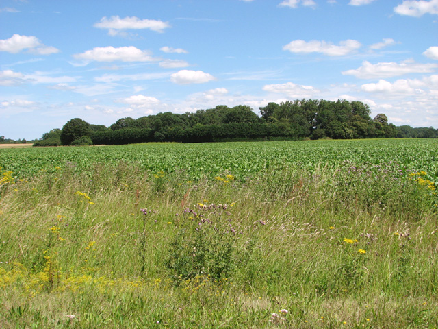 Sugar beet crop north of New Road