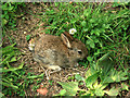 SP5003 : Rabbit in Chilswell Copse by Des Blenkinsopp