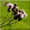 SO6525 : Worker bee on hedgerow thistle flowers by Jonathan Billinger