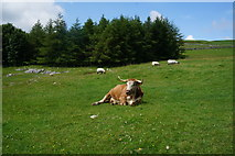 SD8970 : Farm animals near Thoragill Beck by Ian S