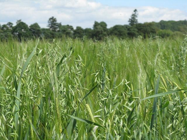 Barley and Oats at Philiphaugh