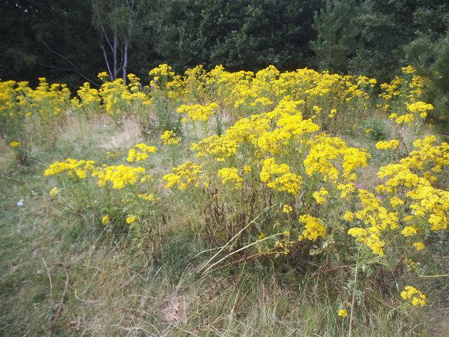 Wild flowers on Wimbledon Common