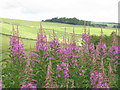NT4543 : Rosebay Willowherb near Stagehall by M J Richardson