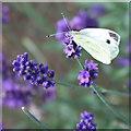 SE7169 : Small white on lavender by Pauline E