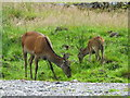 NH1658 : Sika hind and fawn by sylvia duckworth