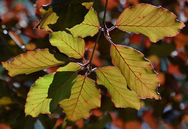 Copper beech leaves contre-jour, in Ham, Wiltshire