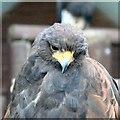 SH8081 : Harris hawk (Parabuteo unicinctus) by Gerald England
