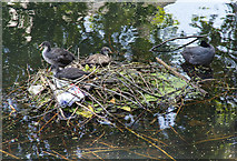 TQ3296 : Coot nest on the New River by David P Howard