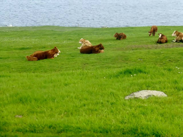 Relaxing Cattle On Westray