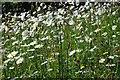 SZ4083 : Daisies in Mottistone churchyard by Philip Halling