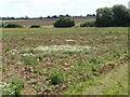 TF1030 : Leucanthemum vulgare by Bob Harvey