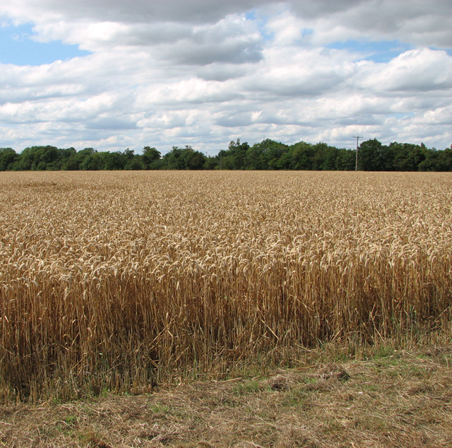 Wheat crop field south of Bunn's Bank