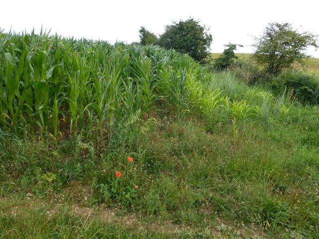 Maize near Halfway Plantation, Docking