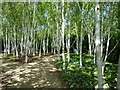TL5362 : Silver birch trees on the winter walk, in summer by Sandra Humphrey
