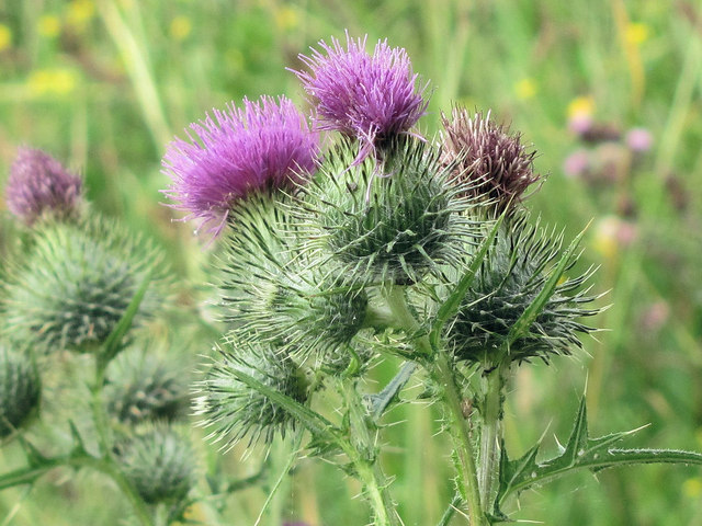 Thistle Flowers by the Octagon Hide, College Lake