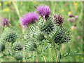 SP9314 : Thistle Flowers by the Octagon Hide, College Lake by Chris Reynolds