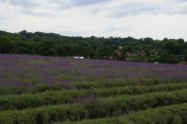 Mayfield Lavender Farm, near Banstead