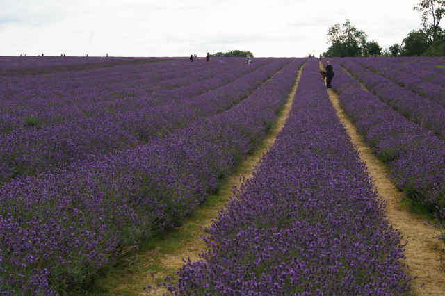 Mayfield Lavender Farm, near Banstead