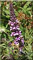 NS7471 : Marsh Woundwort (Stachys palustris) by Anne Burgess
