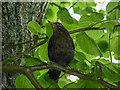 SO0351 : Female Blackbird,  Builth Wells, Powys by Christine Matthews