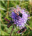 NJ8267 : Burnet Moths on Devil's Bit Scabious by Anne Burgess