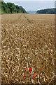 SP1521 : Poppies in a field of wheat by Trevor Harris