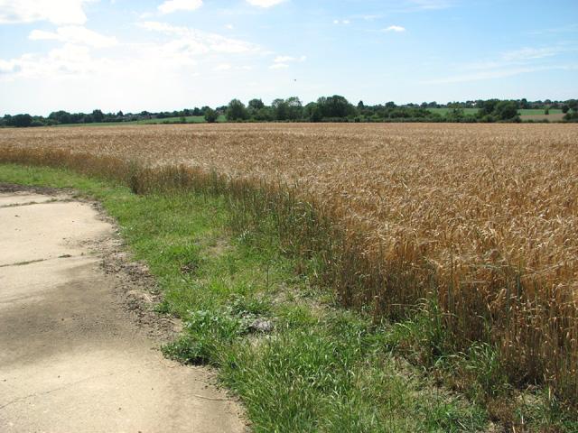 Ripening barley by Bush Green Farm
