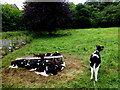 H7545 : Calves, Caledon by Kenneth  Allen
